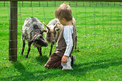 Child feeding Goats Stock Photography