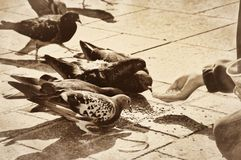 Child feeding grains to pigeons doves birds vintag Royalty Free Stock Images