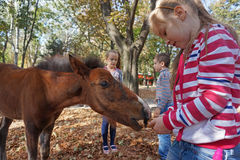 Child feeding horse. A cute little caucasian girl child feeding a small wild brown horse in city park royalty free stock photography