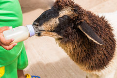Child feeding milk bottle to cute sheep Royalty Free Stock Photo