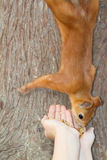 Child feeding red squirrel Stock Images