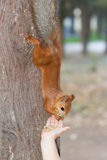 Child feeding red squirrel Royalty Free Stock Image