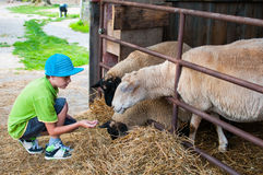 Child feeding sheep Royalty Free Stock Photography