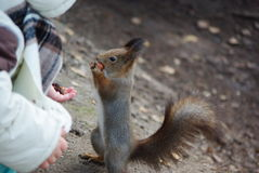 Child feeding squirrel. By nuts Royalty Free Stock Photos