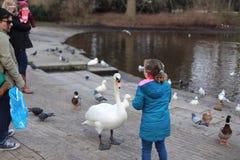Child feeding swan Stock Image