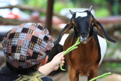 Child feeding vegetable to baby goat Royalty Free Stock Photo