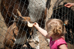 Child feeding zoo animal. Young child feeding a zoo animal Royalty Free Stock Photo