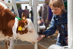 Child feeds brown calf Stock Image