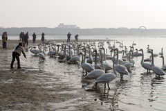 A child feeds mute swans at the shore during migratory season Stock Photography