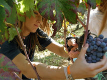 Child, female cutting grapes on a vineyard. Portrait of female behind the vines, cutting grapes are harvested with scissors on a vineyard. Horizontal color photo Royalty Free Stock Images