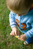 Child With A Flower. Toddler child holding a flower in one hand, and touching it with the other.  Shot from above toward child's feet.  Taken outdoors Royalty Free Stock Photo