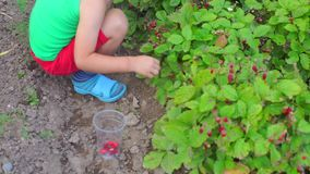 A child of four years gathers berries from a bush stock video footage