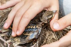 Child strokes the chick in the nest. Child gently strokes the chubby chick in the nest Stock Image