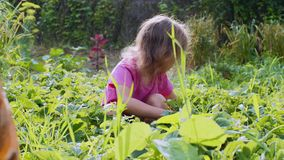 Child girl is eating strawberries sitting squatted down in the garden. stock video