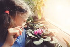 Child girl learning to grow potted plants at home, Kid exploring home flowers  with loupe. Nature care and ecology concept Stock Photography