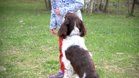 Child girl and puppy dog springer spaniel plays with disk frisbee in park stock footage
