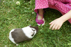 Child Girl relaxing and playing with her guinea pigs outside on green grass lawn Stock Images