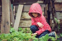 Child girl in striped raincoat picking fresh organic strawberries in rainy summer garden Royalty Free Stock Image