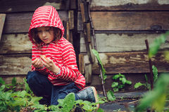 Child girl in striped raincoat picking fresh organic strawberries in rainy summer garden. Child girl in red striped raincoat picking fresh organic strawberries Stock Photo