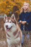 Child girl is walking with cute husky dog Stock Image