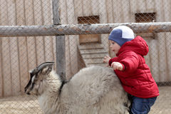 Child on a goat Royalty Free Stock Photography