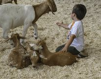 Child with Goats in Los Angeles County Fair Petting Pen stock photography