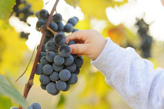 Child with Grape Berry Royalty Free Stock Images