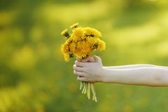 Child hand with bouquet of yellow dandelions. Royalty Free Stock Image