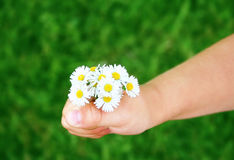 Child hand with daisies. Close-up of child's hand holding freshly picked up daisies stock photos