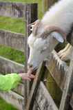 Child hand feed a white male Goat food Royalty Free Stock Photo