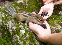Child Hand Feeding Chipmunk. Concept of the nature protection, children education and unity of people and nature: chipmunk (Tamias Sibiricus) in the wildlife Royalty Free Stock Images