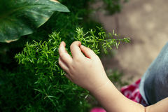 Child hand fingers touching green plant. Closeup macro shot image of child hand fingers touching green plant. Kid baby discovering world around. Early Royalty Free Stock Photography