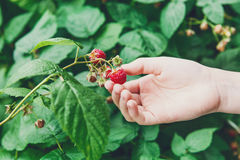 Child hand gather red ripe raspberries on a bush. Child`s hand gather raspberries on a bush. Closeup of raspberry cane. Summer garden in village. Growing berries royalty free stock photos