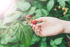Child hand gather red ripe raspberries on a bush stock photo