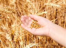 Child hand in gold wheat field holding seed Stock Photography