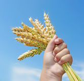 Child hand hold wheat ears Stock Photo