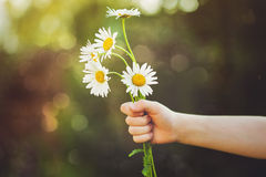 Child hand holding a flower daisy, toned photo. Stock Photo