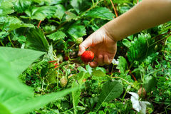 Child hand holding red strawberry Royalty Free Stock Photography