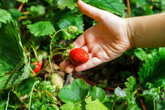 Child hand holding red strawberry Royalty Free Stock Photos
