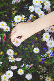 Child hand holding a white  flower, toned photo. Royalty Free Stock Images