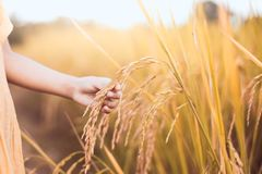 Child hand holding young rice with tenderness in the paddy field. In vintage color tone Stock Images