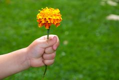 Child hand keeps flower Royalty Free Stock Images