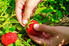 Child hand picks ripe strawberries in the garden, close-up. Stock Image