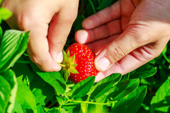 Child hand picks ripe strawberries in the garden, close-up. Stock Images