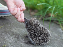 Child hand stroking hedgehog. Child hand stroking small hedgehog close-up outdoors Stock Photography