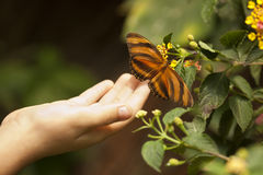 Child Hand Touching an Oak Tiger Butterfly on Flower Royalty Free Stock Images