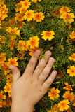 Child hand on yellow petals mexican marigolds Stock Images