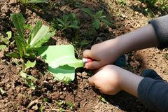 Child hands cultivating weed in garden with toy shovel. Child hands removing weed with toy shovel, green shovel blade and red ladybug like handle with black dots royalty free stock photo