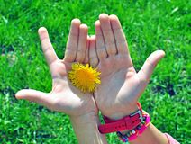 Child hands with flower Stock Image
