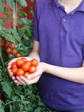 Child with hands full of fresh tomatoes just harvested from the Royalty Free Stock Photos